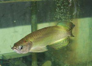ciri-ikan-arwana-irian