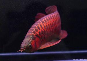 ikan-arwana-super-red