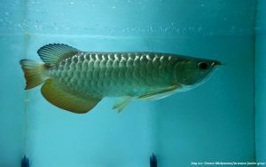 mitos ikan arwana