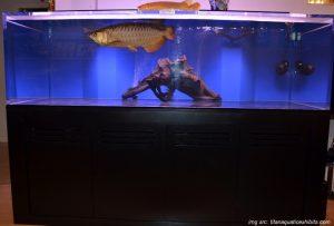 cara memilih akuarium arwana
