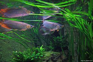 tips-memelihara-ikan-arwana