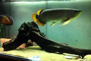 persyaratan akuarium arwana