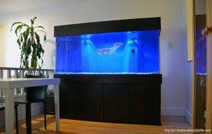 setting-aquarium-ikan-arwana