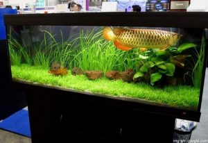 tips perawatan ikan arwana
