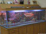 aquarium-ikan-arwana.jpg